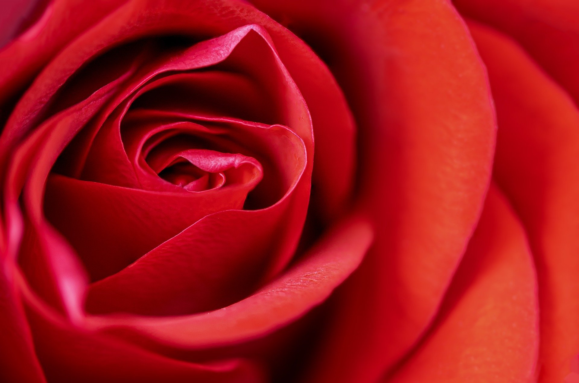 La rosa.