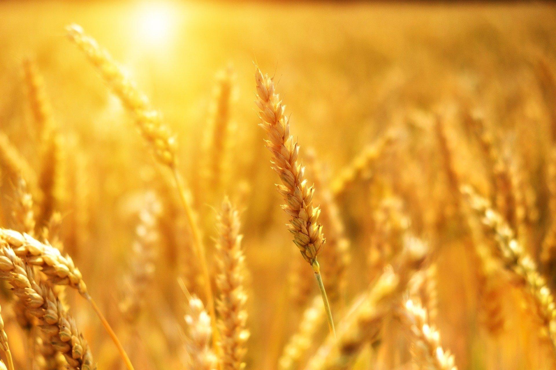 Todo empezó con estantes vacíos de trigo.
